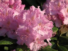 Las variedades enanas de rododendros