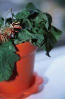 Sugerencias y Consejos para la extracción de una planta de Bound raíz de su contenedor