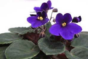 Cuidados de las plantas de la violeta africana