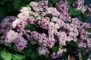 ¿Cuánto tiempo tarda en crecer las lilas?