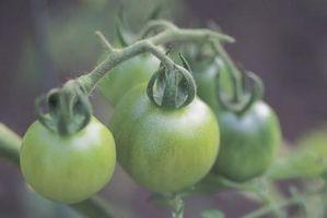 El mejor fungicida para el Tomate