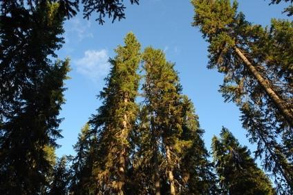 El crecimiento de los árboles de pino