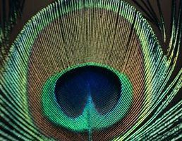 Ideas de decoración para plumas del pavo real