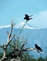 Cómo ahuyentar a un cuervo que no dejará