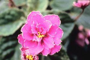 Cómo crecer violetas africanas, sin luz natural