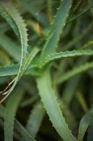Cómo usar el Aloe Vera en spray en sus plantas