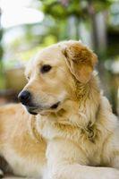Son la reina de la palmera Frutos secos venenoso para los perros?