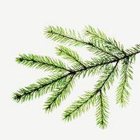Cómo ver la diferencia entre los árboles de hoja perenne