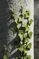 Cómo controlar el crecimiento de Hedera helix
