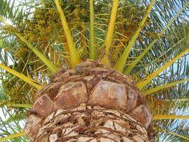 Cómo propagar las palmeras de Como Casa de las plantas