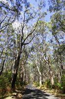 Las diferencias en el eucalipto radiata y Eucalyptus globulus