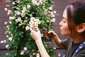 Cuando podar las rosas para un específico Bloom Fecha?