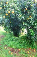 ¿Qué tipo de árboles de naranja existen?