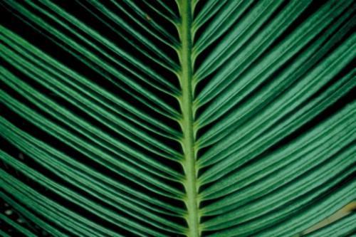 El nombre de una planta que se parece a la palmera