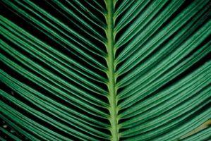 Las manchas blancas en las hojas de palma