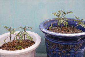 La reutilización de la tierra para macetas para cultivar tomates
