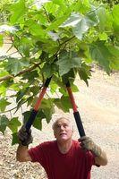 Americano de Estándares Nacionales para cuidado de los árboles