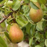 Información sobre el crecimiento de un árbol de pera de Keifer