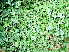 Bajo crecimiento plantas de cobertura