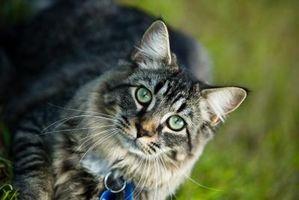 Cómo tratar su casa por las pulgas de un gato