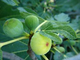 ¿Qué causa una higuera no para producir frutos?