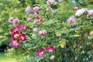 Las deficiencias en las plantas con manchas blancas en las hojas