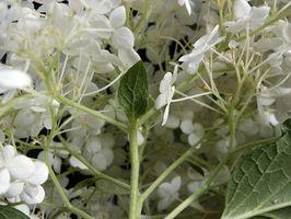 Plantas con flores blancas para sombra parcial