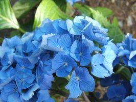 Cómo podar grandes hortensias azules