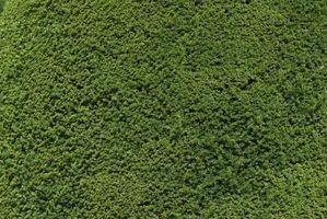Variedades pleno sol de musgo