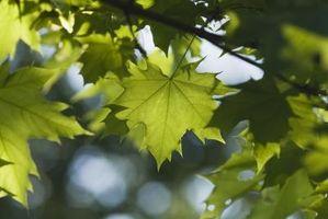 Enfermedades árbol con las hojas que caen antes de tiempo