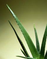 ¿Cómo hacer crecer Aloe Vera en rocas del desierto y arena