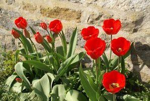 Historia de las flores del tulipán