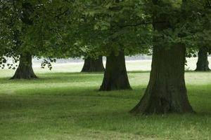 Tratamiento Rot Ganoderma raíz de los árboles de roble
