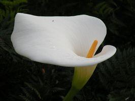 El significado de una docena de flores del lirio