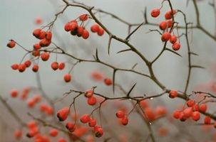 Tipos de árboles espinosos