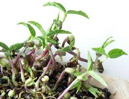 Los efectos del azúcar del agua en las plantas de frijol mungo
