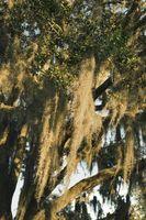 Tipos de musgo de árbol