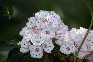 Datos de la flor del Estado de Pensilvania