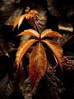 Las plantas perennes lo tienen 5 hojas?