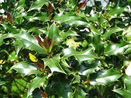 Cómo diagnosticar la enfermedad de Bush del acebo en el suelo cuando hay Brown Leaves