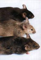 ¿Cómo deshacerse de los ratones usando bolas de naftalina