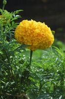 Cómo cultivar la Curcuma Longa