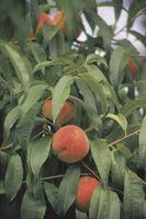 Cuando sí produce un árbol de melocotón de la fruta?