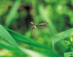 ¿Cómo hacer crecer plantas repelentes de mosquitos