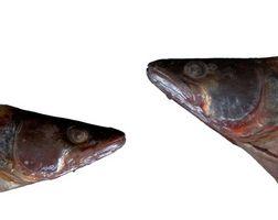 Lo que las plantas pueden usar escamas de pescado como fertilizante?