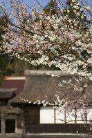 Hongo del árbol de ciruelo japonés