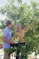Consejos para plantar manzanas Granny Smith
