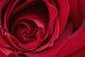 Cómo cuidar los brotes de Rose