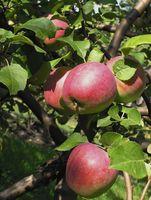 Cómo plantar las semillas de Apple para Niños