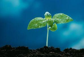 El efecto del ácido giberélico sobre la germinación de semillas